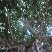 ❀ ワイキキビーチ側の大御神木 突然のスコール(雨)が降った際の雨宿りや、木の木陰で休んだり鳥の巣があったり憩いの場所の様です。