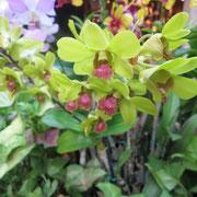❀ 胡蝶蘭花言葉 花が蝶に似ていることから、「幸せが飛んで来る。」、「あなたを愛します」です。
