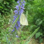 ❀ 蝶: 「日本: 不死・不滅を具現するシンボル」、「北欧: 蝶が飛び立つ瞬間にあなたの前に道は開ける」、「キリスト教: 復活」、「仏教: 輪廻転生の象徴、新しい自分になる、美しく、強く変化する」、「インディアンの言い伝え: 変化と喜びの象徴。蝶に願いと託すと、部族の神様に伝えにいってくれるとされます」