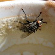 Fliege auf Cappuccino-Schaum