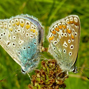 Hauhechel-Bläulinge bei der Paarung | blau = Männchen