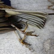 Totes Rotkehlchen