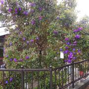 近くのお林展望公園の駐車場で、たくさんの紫の花をつけている樹(野牡丹)を見ました。