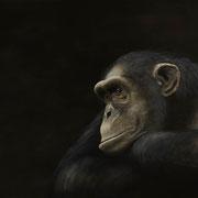 Den aufrechten Gang hätten wir uns sparen können … dachte der Affe, als er über den Menschen als das Ende der Evolution sinnierte (100x150)