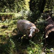 Man läuft nichts ahnend durch die Wälder und findet ein Rind