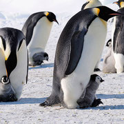 Императорские пингвины, являются самыми крупными из современных видов семейства пингвиновых. Они могут  легко нырять на глубину свыше 500 метров и находиться под водой до 15 минут.