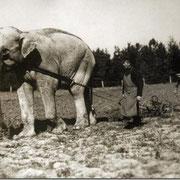 1910 Год Слон на русском поле