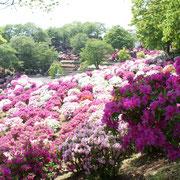西山公園のつつじ(鯖江市)