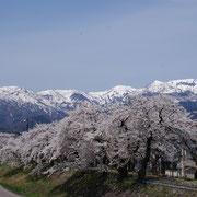 弁天桜と残雪の白山連峰(勝山市)
