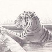 Z 4: Korfu (Bengaltiger, Tigerpark Dassow), 2014, Bleistiftzeichnung 30 x 20 cm.