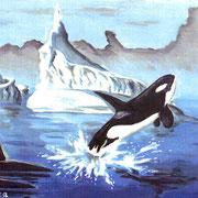 A3: Orcinus orca (Schwertwal). 1991, Öl 41 x 28 cm (nach Ronnie Leckie): 150.- Euro.