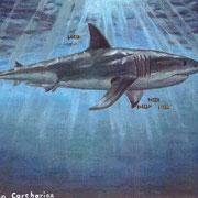 A1: Carharodon carcharias (Great White Shark). 1991, Öl 41 x 28 cm: 150.- Euro.