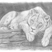 Z 2: Nala (Asiatische Löwin, Tigerpark Dassow). Bleistiftzeichnung 20 x 14 cm.