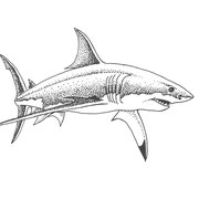 Carcharodon carcharias, Briefpapier-Logo.