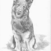 Z 6: Aslan (tschechischer Schäferhund), 2014, Bleistiftzeichnung 23 x 31 cm: VERKAUFT.