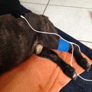 MET beim Hund (Amplimed) - Anlage bei Lähmung der Hinterbeine