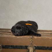 Bucky {Puppy Jake dog in training} at 6 weeks
