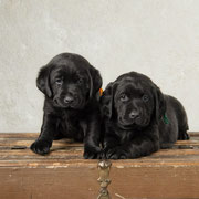 Bucky {Puppy Jake dog in training} & Loki who lives in Des Moines area