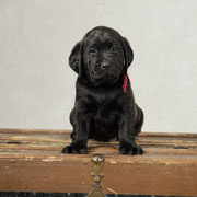 Dean {Puppy Jake dog in training} at 6 weeks