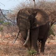 in2kenya safari watamu kenya elefante africano