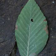 イヌブナ。鹿飛橋からの山道を歩いていくと見つかります。葉裏の白い毛が特徴。黄葉。