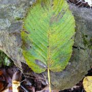 サワシバ。黄葉。アカシデと同じく、渓谷に特有な木。葉の付け根がハート形なのが特徴。