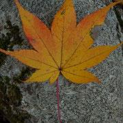 イロハモミジ。紅葉。