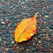 アカシデ。茎(正式には葉柄)が赤いのと葉の先が急に細くなるのが特徴。綺麗に紅葉します。