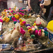 bunte lebende Kücken -erinnert uns an Ostern in Damaskus (1996)