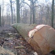 chêne pour le tranchage