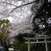 境内の桜が満開~~