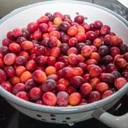 Wildpflaumen gewaschen im Sieb