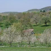 Fleurs des cérisiers dans la vallée de Kandern.