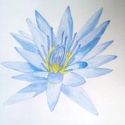 Lotus bleu (nymphéa)