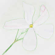 Jasmin grandiflorum