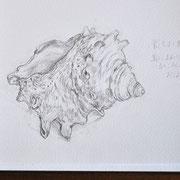Tさんが描いたサザエの殻