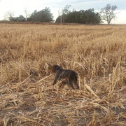 Gus in a Kansas corn field