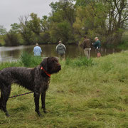 "Cota ""clean up"" dog at NA Test. She did a great job fetching all the bumpers out of the pond after each pup tested."