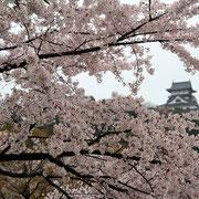 犬山 アシスタント会 桜 有楽園 国宝茶室如庵 茶菓園 swan's cafe