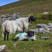 Sheeps at the deserted village