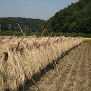秋 稲刈り