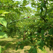 リンゴ農園ミネラル散布