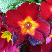 ... so viele Farben in einer Blüte ...