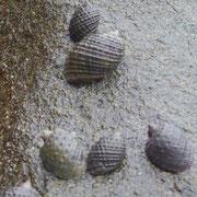 Plicopurpura Pansa ( murex sea snail)