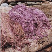 Tyrian Purple From Murex Sea Snails Boruca Indigenous Of