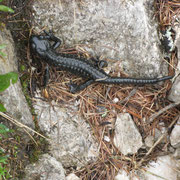 ...trifft man Salamander! die mögens halt feucht :-)