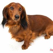 Kuanto - Réf 240515 - Teckel poils longs - M - Photos uniquement - Rem : roule