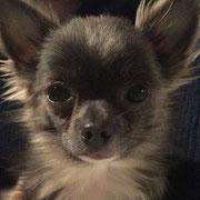Apache - Ref 203050517 - M - Chihuahua - 2015 - Obéissance de base -