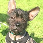 Hugo - Réf 140801/16 - M -  Bouledogue fr X chien chinois - 2016 - Tournages & Photos - Rem : obéissance + - Chiot très prometteur au physique particulier - Tricks