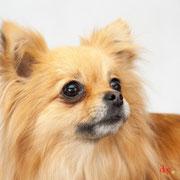 Lovely - Réf 240504 - Chihuahua X Loulou Poméranie - M - Tournage & Photos - Rem : Roule à distane - Saute - Aboie sur commande